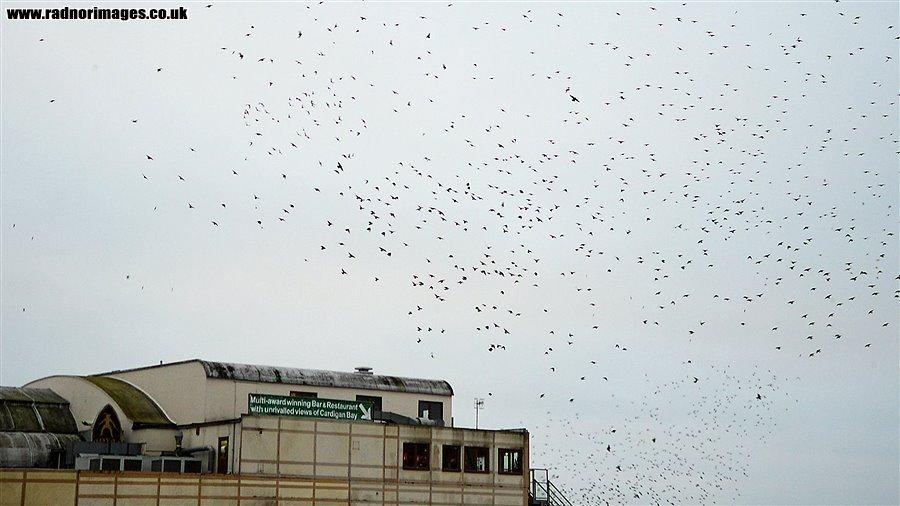 Starling Roost