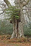 Fir in beech